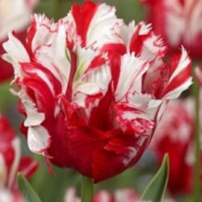 rijnveld-tulppaani